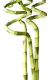 3 bambous chanceux d'isolement sur le blanc Images stock