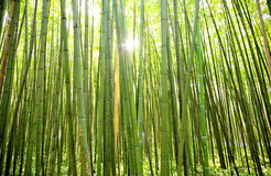 sun shining through a curtain of bamboos royalty free stock images