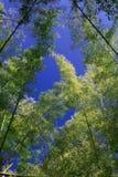 Bambu över himmel Fotografering för Bildbyråer