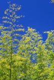 Bambu över himmel Arkivbild