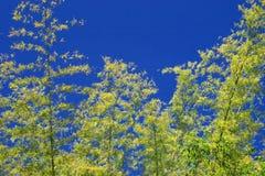 Bambu över himmel Arkivfoton