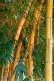 Bambu Fotografia de Stock
