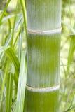 Bambu Royaltyfria Bilder