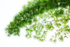 Bambu. Royaltyfria Bilder