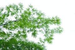 Bambu. Royaltyfri Bild