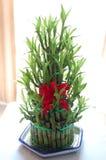 Bambu afortunado Foto de Stock Royalty Free