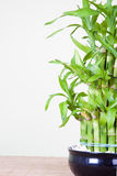 Bambu afortunado foto de stock