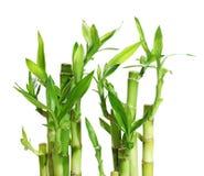 Bambu afortunado Imagem de Stock