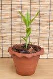 Bambu afortunado (sempre-verde belga) no potenciômetro Imagem de Stock Royalty Free