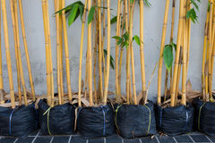 Bambu amarelo em uns potenciômetros Foto de Stock