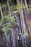 Bambu, ambiance tropical do zen imagens de stock