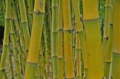 Bambu royaltyfri foto