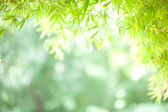 Bambu: bokeh do fundo Imagem de Stock