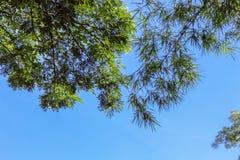 Bambu bonito e árvores verdes no fundo do céu azul Imagem de Stock Royalty Free