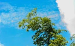 Bambu com fundo do céu azul Fotos de Stock