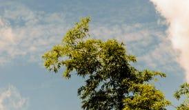 Bambu com fundo do céu azul Imagem de Stock