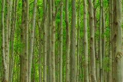 Bambu-como troncos das árvores de faia foto de stock