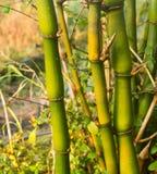 Bambu da barriga da Buda Imagens de Stock