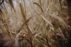 Bambu do bastão do campo da mola do outono dos Wheatears Foto de Stock Royalty Free