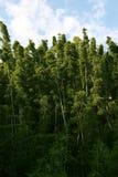 Bambu Forrest de Hana foto de stock