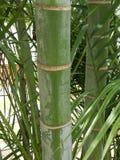 Bambu gigante imagem de stock
