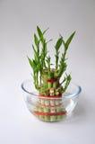 Bambu-god lyckaväxt en Arkivbilder