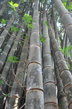 Bambu grande Foto de Stock Royalty Free