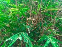 Bambu har ett grönt blad royaltyfria bilder