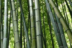 Bambu i den Arashiyama bambudungen, Kyoto, Japan arkivbild