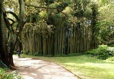 Bambu i den Ninfa trädgården Royaltyfri Foto