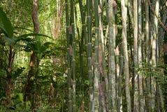Bambu i djungel Royaltyfria Bilder