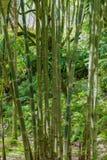 Bambu i en skogsao miguel azores Royaltyfria Bilder