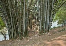 Bambu i kunglig botanisk trädgård Arkivbild