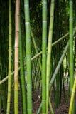 Bambu i San Diego Royaltyfri Fotografi