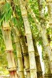 Bambu i trädgård Arkivfoton