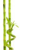 bambu isolerad white Arkivbild