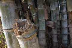 Bambu klipps, baksidan är full av bambu Royaltyfri Foto