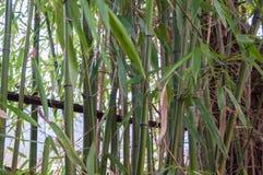 Bambu lämnar tätt upp i en ljus sol Royaltyfri Bild