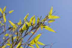 Bambu Leaves. Detail againts a sunny blue sky Royalty Free Stock Photography