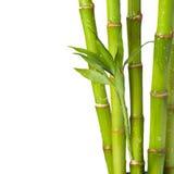 Bambu med vattendroppe på vit bakgrund Royaltyfria Foton