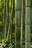 Bambu no jardim botânico (Orto Botanico), Trastevere, Roma, Itália Imagem de Stock