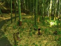 Bambu no parque do castelo Fotos de Stock Royalty Free