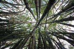 Bambu o mais forrest Fotografia de Stock Royalty Free