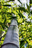 Bambu, olhando acima 04 Fotos de Stock Royalty Free