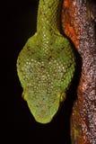 Bambu Pit Viper, Trimeresurus gramineus, rygg- head våg, Matheran, Maharashtra arkivbilder