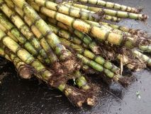Bambu rotting Arkivfoto