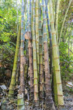 Bambu selvagem Imagens de Stock Royalty Free