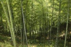 Bambu - skjuta ZeYa, wenzhou, zhejiang, Kina Royaltyfri Bild
