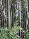 Bambu skog Arkivfoto