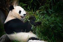 bambu som äter pandaen Djurlivplats från den Kina naturen Stående av det matande bambuträdet för jätte- panda i skoglivsmiljö Gul Royaltyfria Bilder